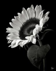 sunflower-in-black-and-white-endre-balogh