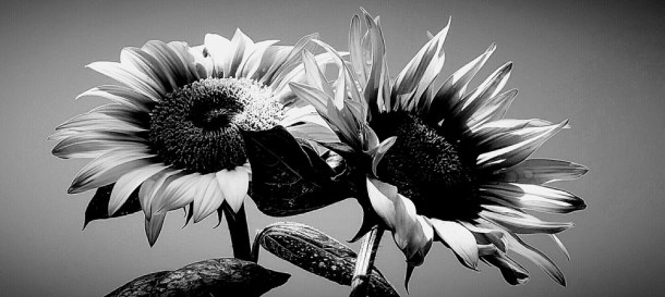 Sunflower_Duo_in_black_and_white_dwmkbz