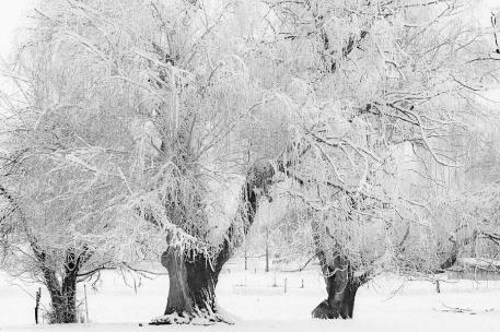 three-snow-frosted-trees-in-black-and-white-james-bo-insogna