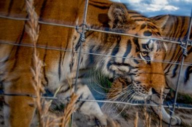 Tiger-in-Cage-by-Steve-Winter-610x407