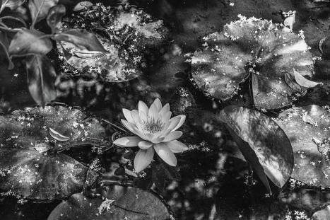 water-lily-in-a-pond-errol-dsouza