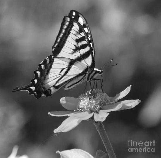 1-black-and-white-butterfly-on-zinnia-emily-bush