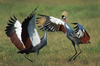 1-grey-crowned-crane-balearica-regulorum-animal-images
