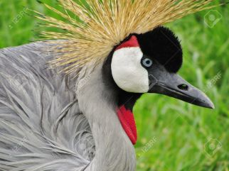 16296428-the-crested-crane-found-in-many-parts-of-africa-is-the-national-bird-of-uganda