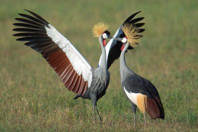 2-grey-crowned-crane-balearica-regulorum-animal-images