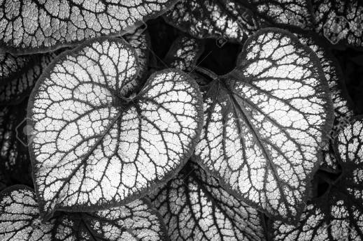 Heart-shaped Brunnera macrophylla leaves, closeup, black and white