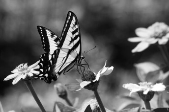 black-and-white-butterfly-on-flower-emily-bush
