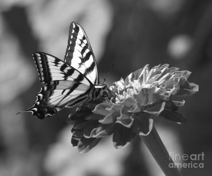 black-and-white-butterfly-on-zinnia-emily-bush