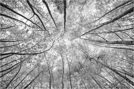 Here is a Colorado black and white image of Aspen trees looking straight up on a crisp fall afternoon.The winds were calm and these was mixed with blue and white. Each fall, the aspen turn to orange and gold. When you see clumps of the orange aspen trees, those are actually families of trees connected by a root system.This is the landscape played out all over the state - wherever there are aspen groves.