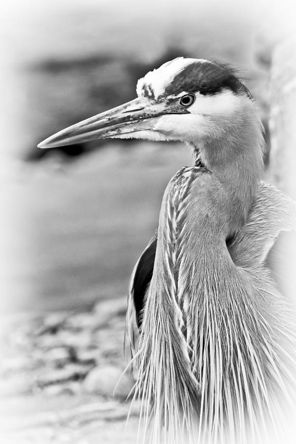 blue-heron-black-and-white-athena-mckinzie