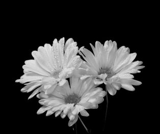daisies-on-black-fine-art-black-and-white-photograph-flower