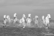fineart-043-camarguehorsesrunning.jpg-nggid041654-ngg0dyn-180x0-00f0w010c010r110f110r010t010