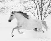 fineart-087-snowymareleaping.jpg-nggid041697-ngg0dyn-180x0-00f0w010c010r110f110r010t010