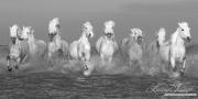 fineart-151-camarguehorsesrunning.jpg-nggid041589-ngg0dyn-180x0-00f0w010c010r110f110r010t010