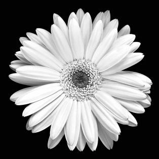 gerbera-daisy-marilyn-hunt