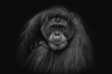 male-orang-utan-black-and-white-portrait-david-gn