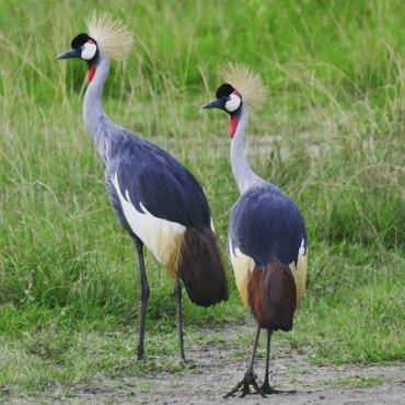 national-bird-of-uganda