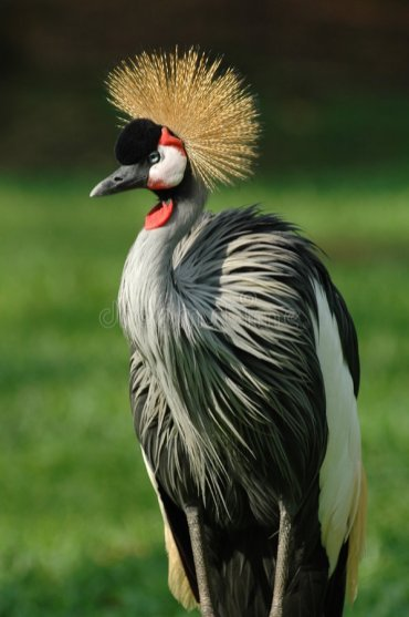 national-bird-uganda-475163