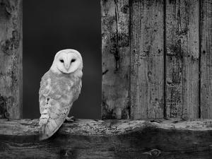 pete-cairns-barn-owl-in-old-farm-building-window-scotland-uk-cairngorms-national-park_u-l-q10ohe40