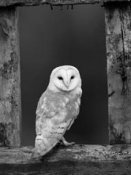 pete-cairns-barn-owl-in-old-farm-building-window-scotland-uk-cairngorms-national-park_u-l-q10ohhh0