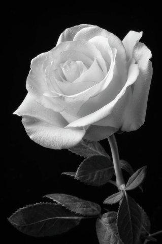 single-white-rose-black-and-white-garry-gay