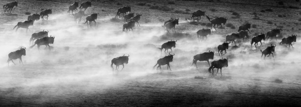 """Wildebeest migration, Serengeti National Park, Tanzania It has been said that the wildebeest has """"the forequarters of an ox, the hindquarters of an antelope, and the tail of a horse."""" They are also picky eaters, preferring only specific species of grasses at certain heights. This selection is one of the ways the Serengeti is able to support so many different species of animals."""