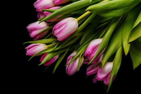 Tulips_Black_background_Pink_color_559745_4000x2667