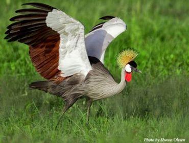 uganda-crested-crane