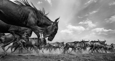 Common or plains zebra (Equus quagga burchelli) and Eastern White-bearded Wildebeest mixed herd on the move (Connochaetes taurinus) - taken with a remote camera controlled by the photographer. Maasai Mara National Reserve, Kenya. July 2013.