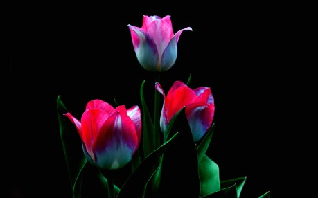 White-red-petals-tulips-black-background_1920x1200