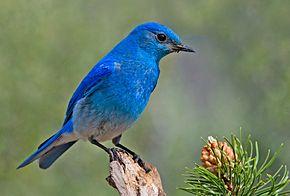 290px-Mountain_Bluebird