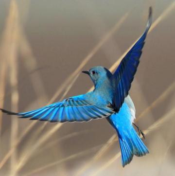 Mountain_Bluebird_FlickrCC_1