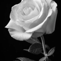single-white-rose-black-and-white-garry-gay
