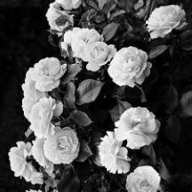 sisi-and-seb-roses_u-l-f9imez0