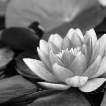 water-lily-black-and-white-pond-lotus