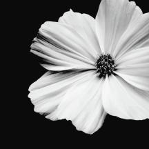 white-flower-on-black-background--kara-pecknold