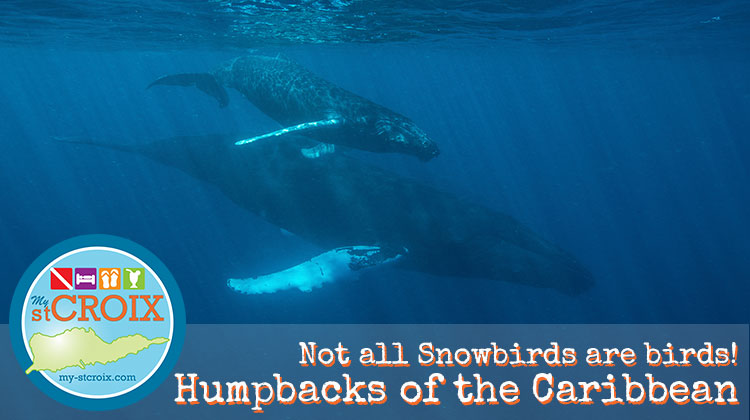Humpback Whales of the Caribbean