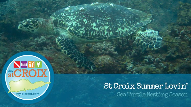 St Croix Summer Lovin: Sea Turtle Nesting Season
