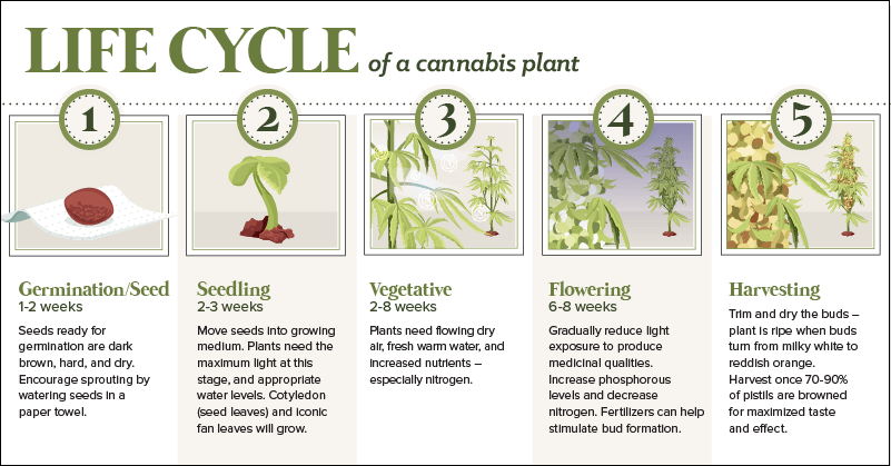 The Growth Cycle Of Cannabis Manual Guide