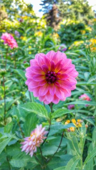 PHOTO: Dahlia 'Jitterbug'.