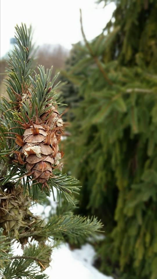 Conifers to Light Up the Winter Garden | My Chicago Botanic Garden