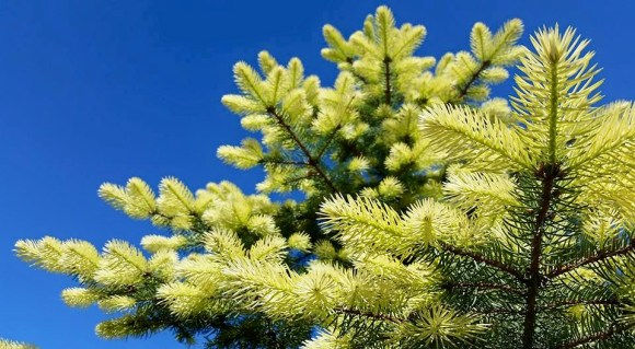PHOTO: Picea pungens 'Spring Ghost'.