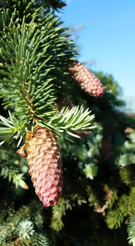 PHOTO: Picea abies 'Acrocona'.