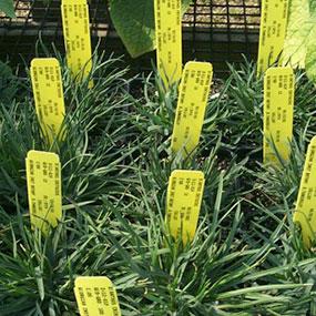 Dianthus cretaceous