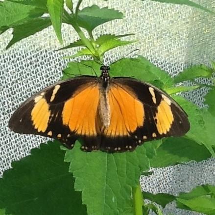 PHOTO: Top view of female Mocker Swallowtail butterfly (Papilio dardanus).