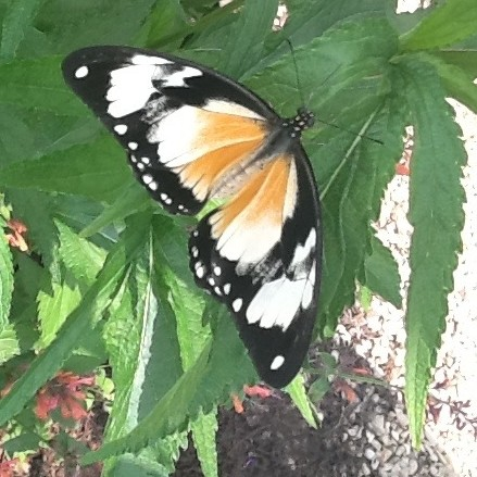 PHOTO: Top view of Mocker Swallowtail female (Papilio dardanus).