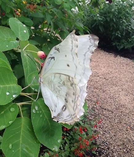 The Ghostly White Morpho