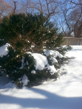 PHOTO: Boxwood in winter; its branches weighted down with snow.