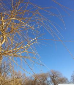 PHOTO: Bare, yellow willow branches against a blue sky.