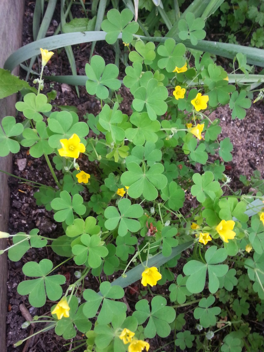 Edible Weeds My Chicago Botanic Garden